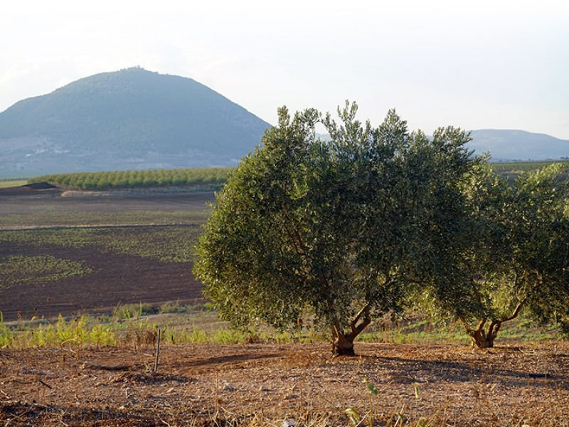 Olive tree grove and Tavor mount in Israel